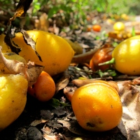 Candied kumquats & rose jam
