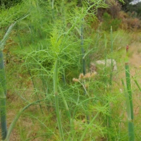 A field of fennel